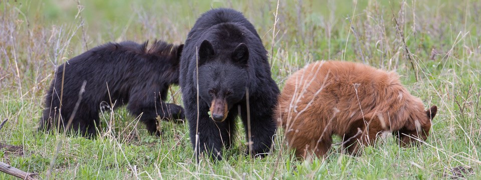 A black bear with two cubs. In Yellowstone, about 50% of black bears are black in color, others are brown, blond, or cinnamon.