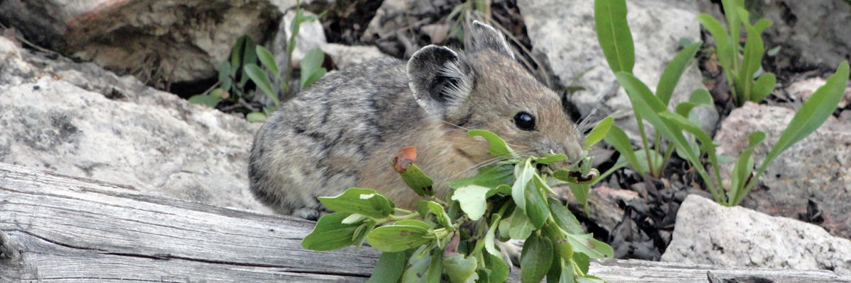 A pika with leafy vegetation in its mouth