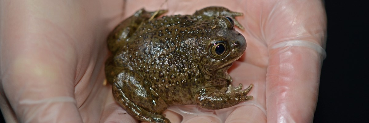 A dark green bumpy toad in the hollow of a gloved hand