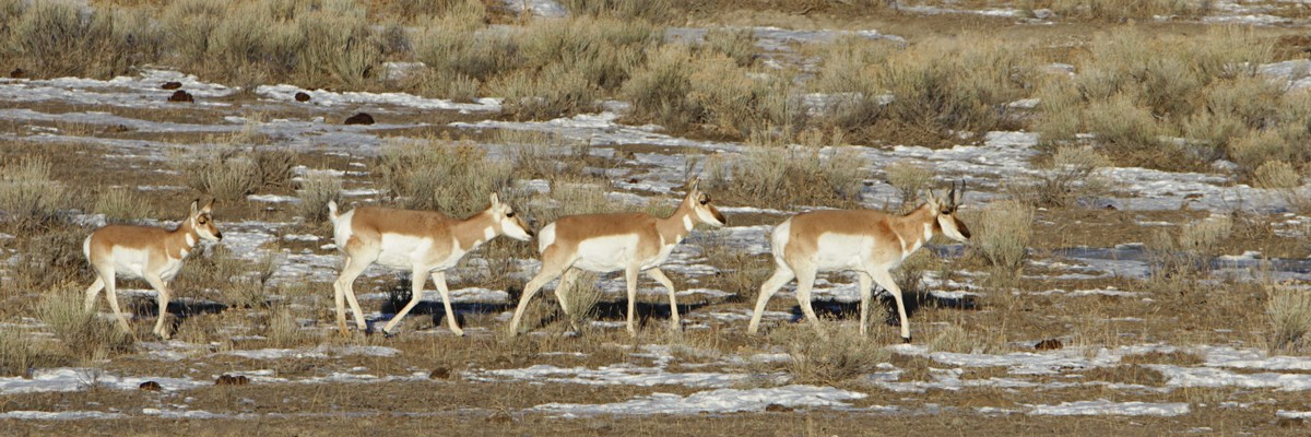 A male pronghorn followed by two females and a fawn across a sagebrush area