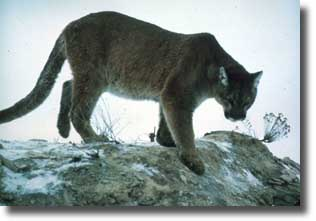 The Mountain Lion is also commonly referred to as a cougar and is the largest of the cat family living in Yellowstone.