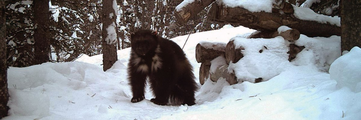 A wolverine is near the entrance of a wooden trap