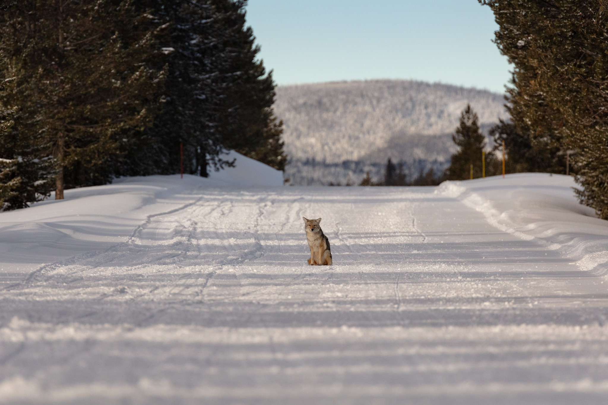 coyote sits in the middle of a snowy road