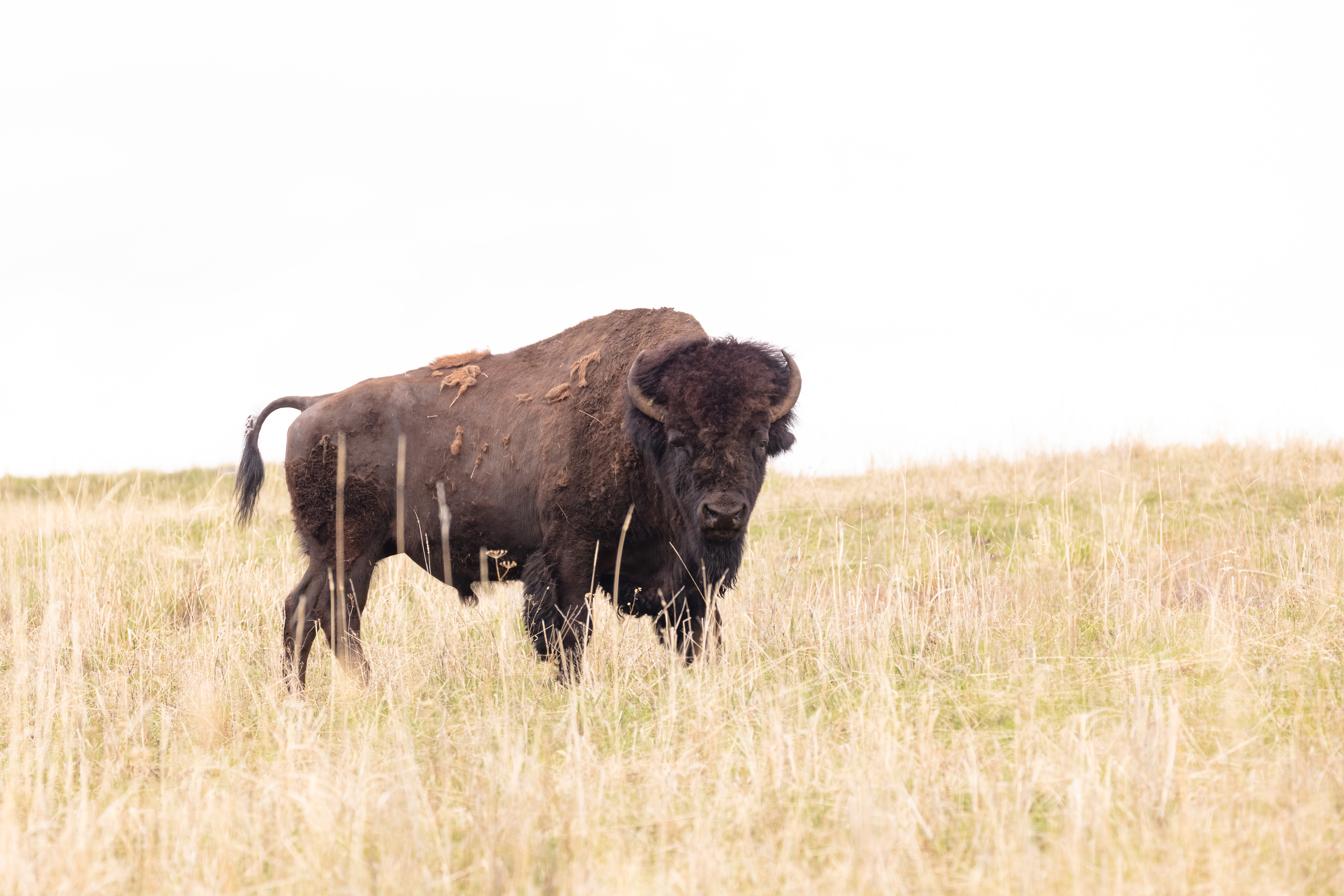 A bison standing in a field looking at the camera.