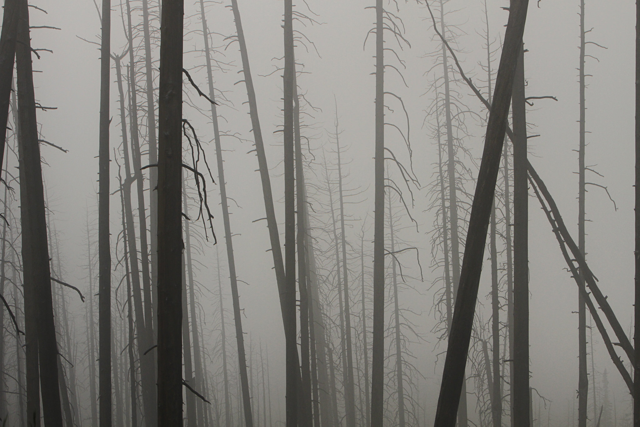 Burned trees in fog