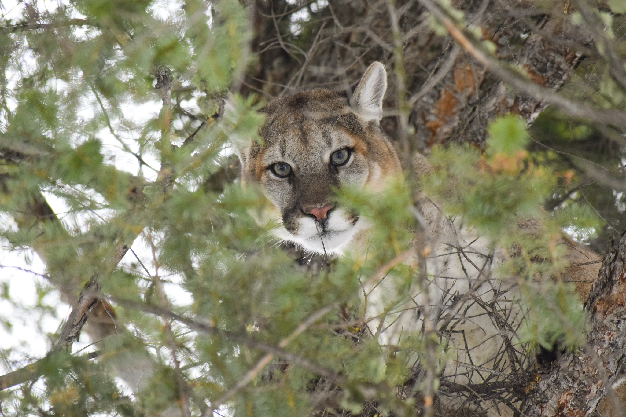 Men Sentenced For Illegal Mountain Lion Hunt Hunting Is
