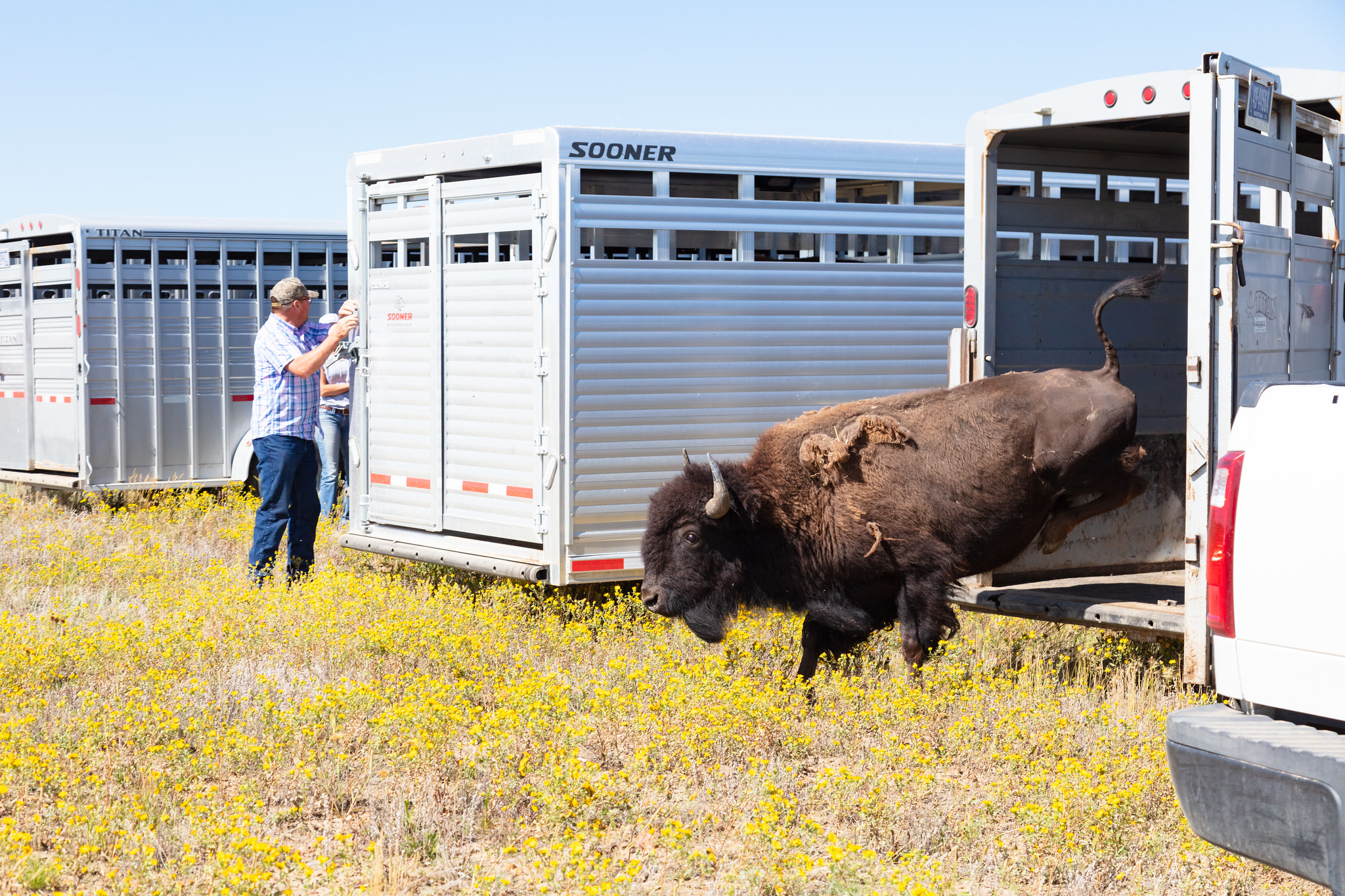 Bison jumping out of trailer onto the grass