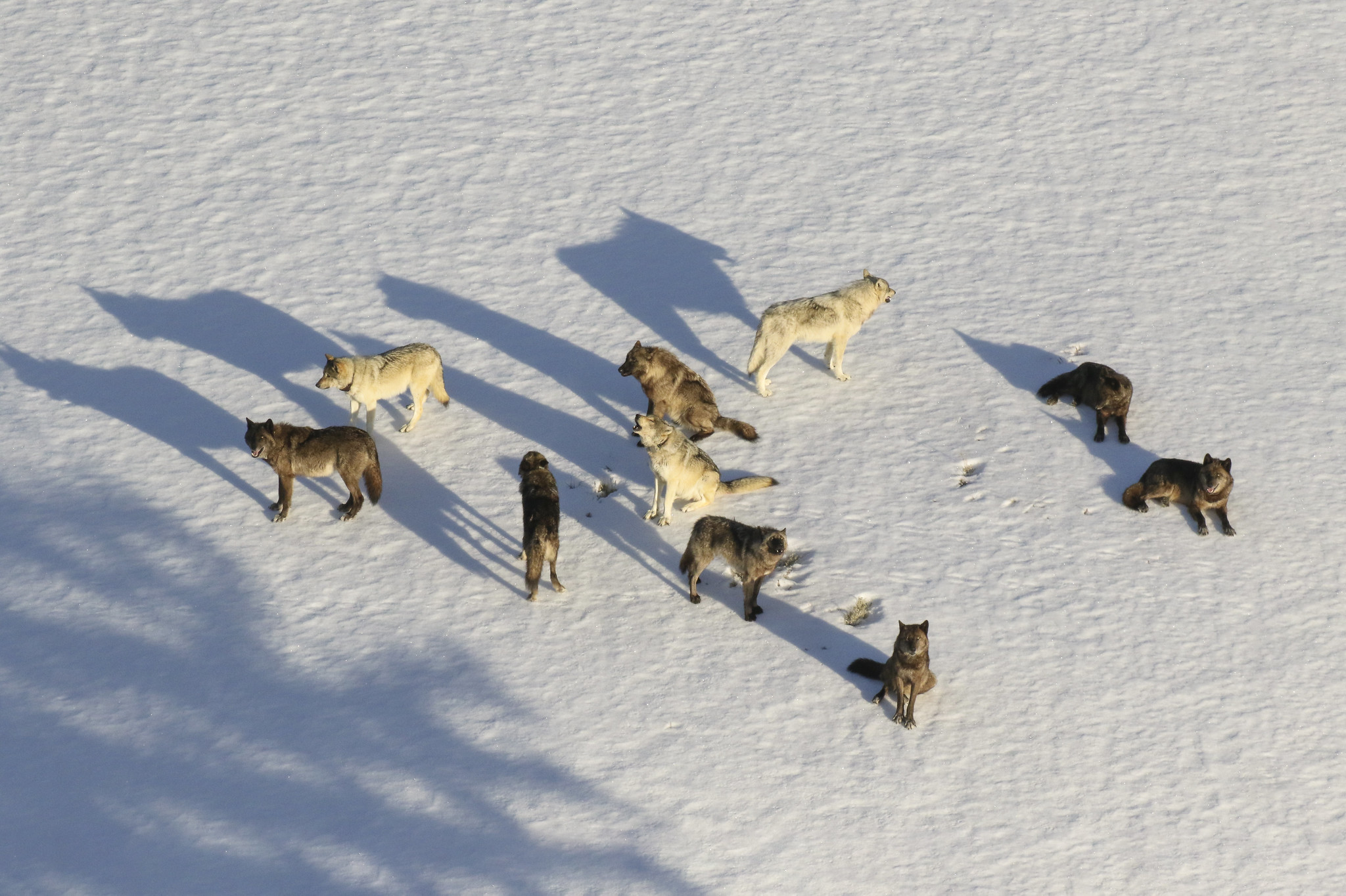 pack of wolves on a snowy landscape