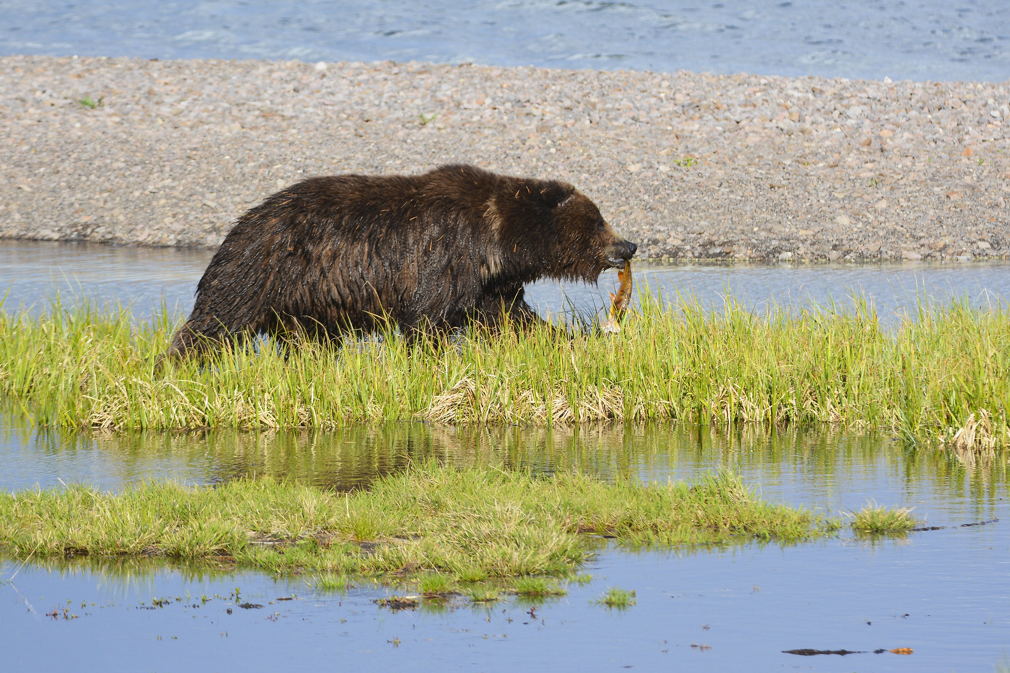 grizzly bear walking next to river carrying fish in its mouth