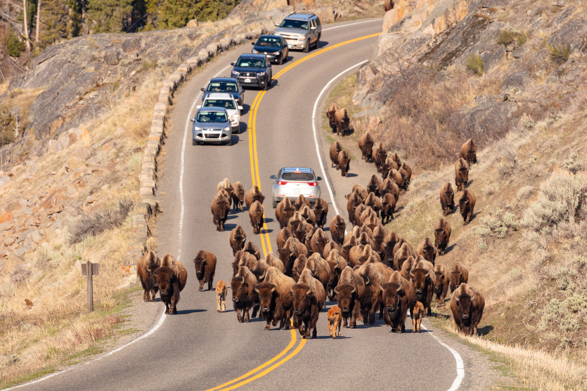 A group of bison walk along the road towards Lamar Valley with cars following behind them