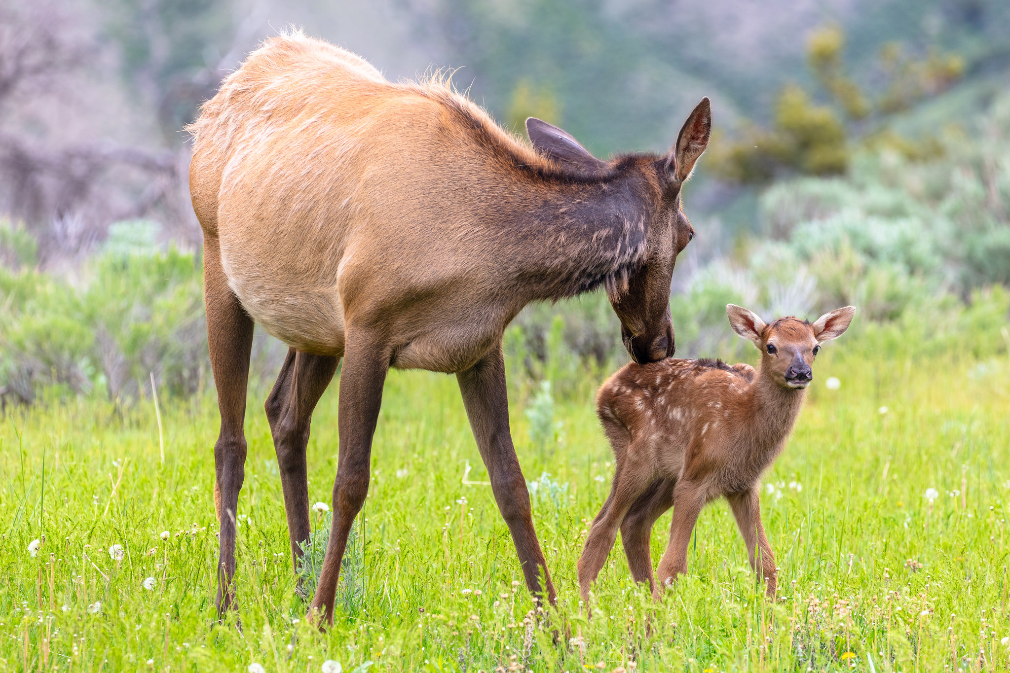 Mother elk grooming calf