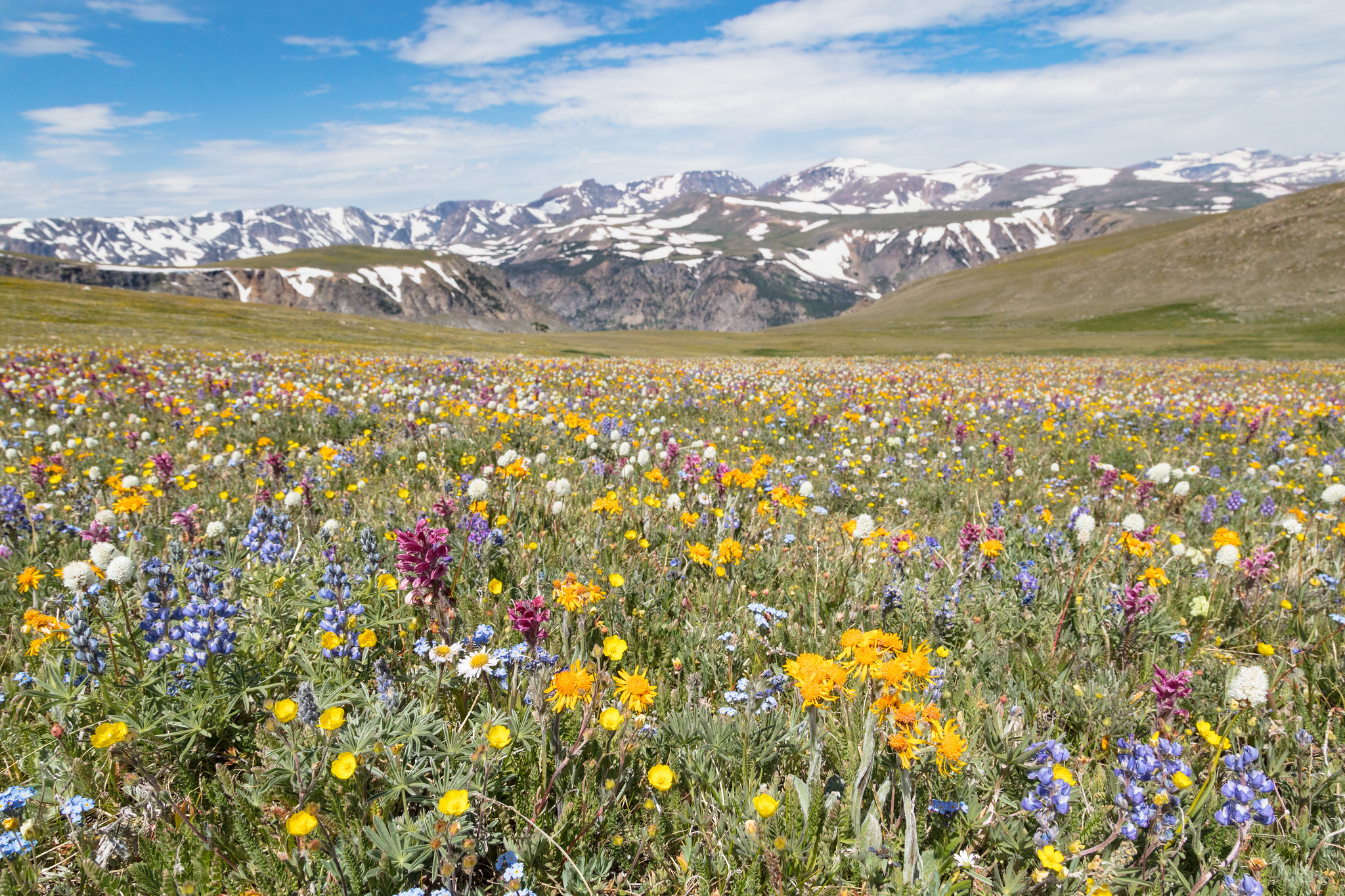 field of wildflowers with mountains in background