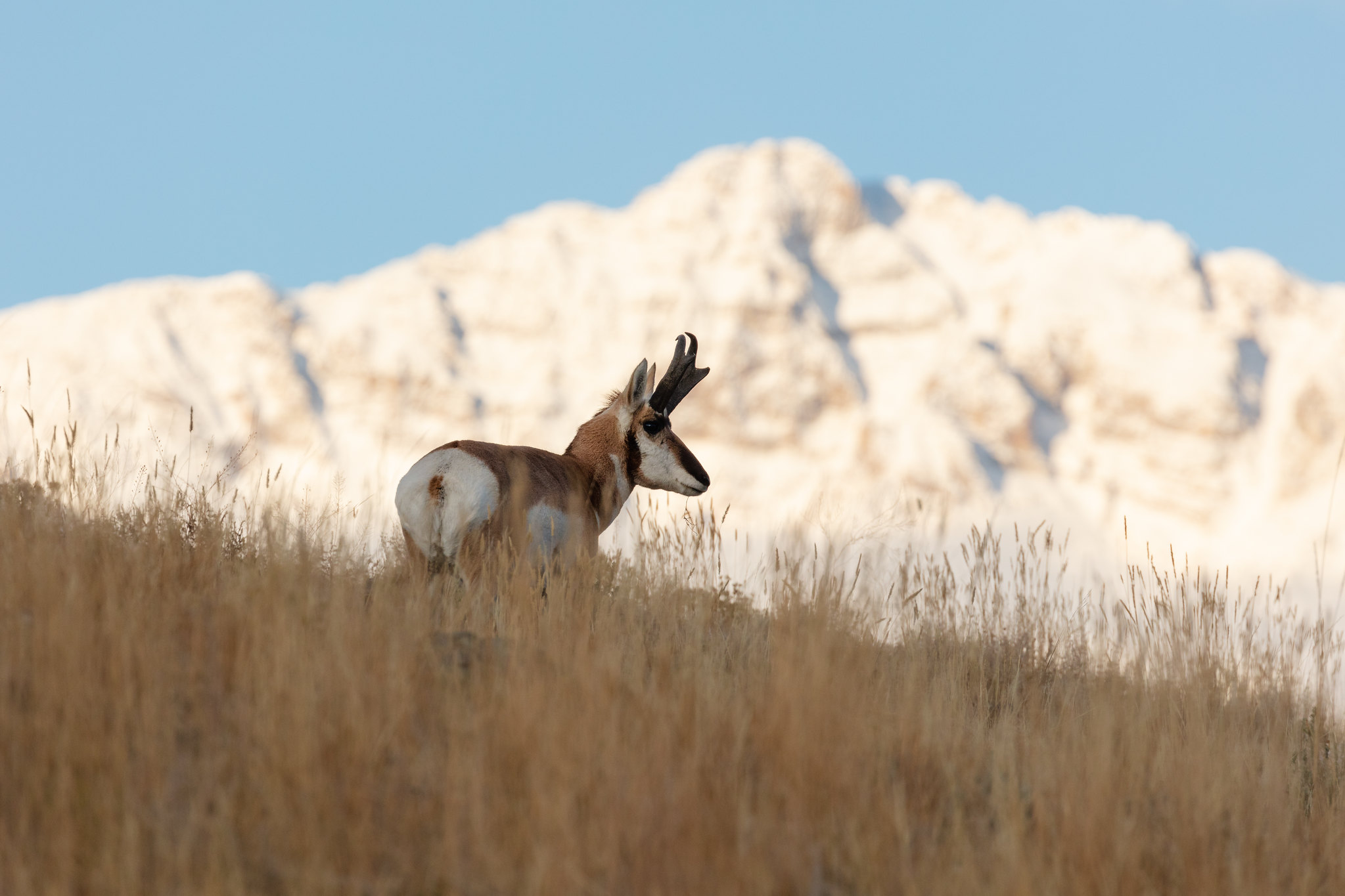 pronghorn standing in grass with mountain in the background
