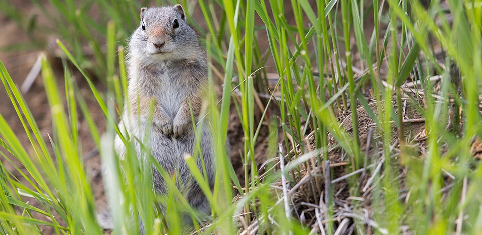 Uinta Ground Squirrel standing on hind legs