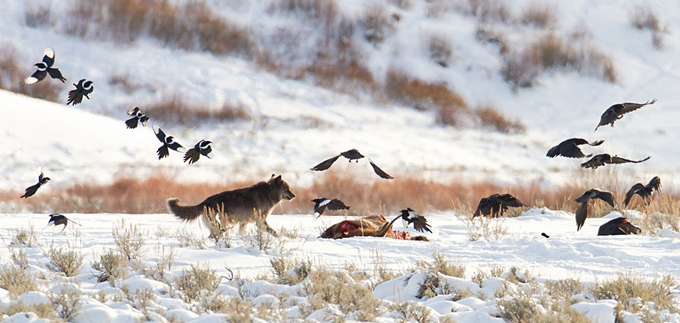 A wolf and birds scavenge a carcass in a snowy landscape.