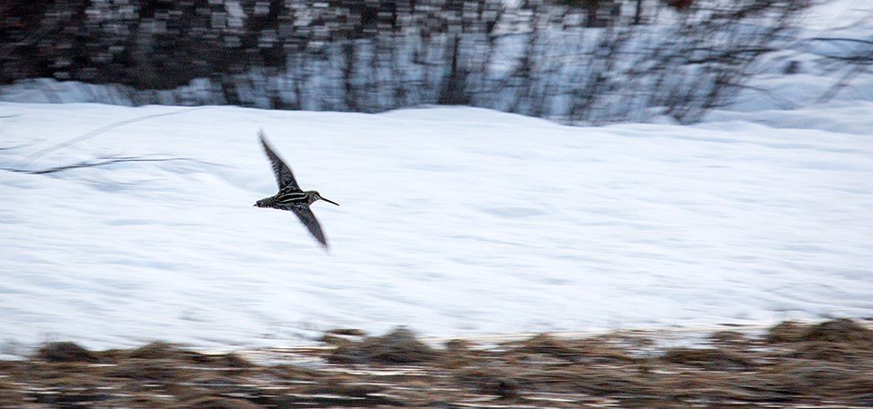 A bird flies across a snowy landscape.