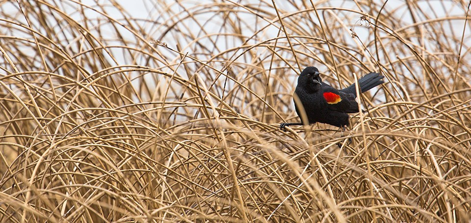 Black & red bird standing on tall reeds