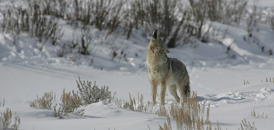 A coyote howling in a snowy landscape