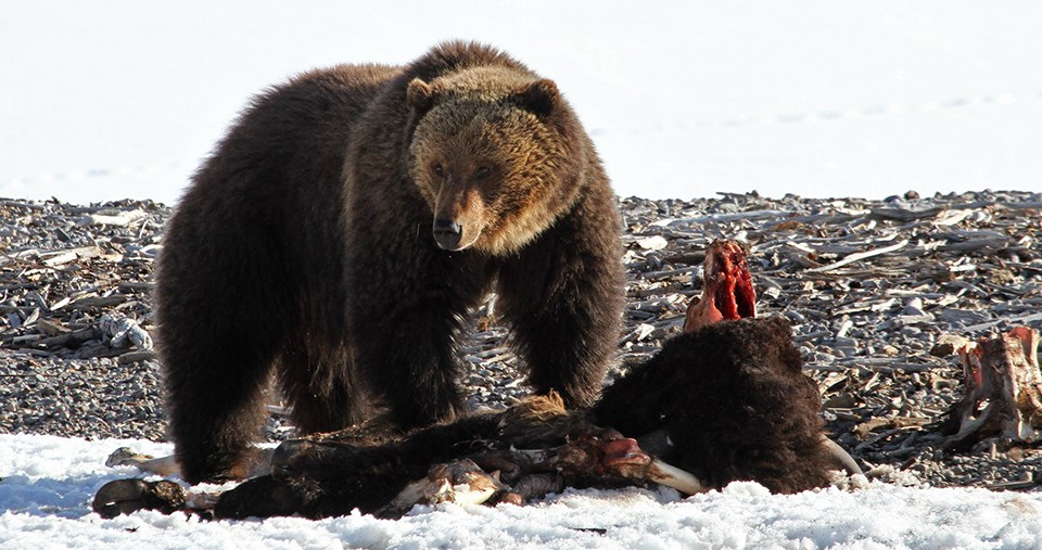 Grizzly bear standing over a carcass