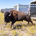 A bison steps off a trailer at the Ft. Peck Indian Reservation
