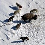 Wolf pack surrounds bison in the snow.