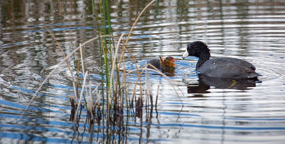 A bird and her chick swim among reeds.