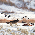 Birds fly around a carcass and a wolf