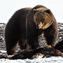 Bear standing over a carcass