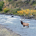 A bull elk standing in a river