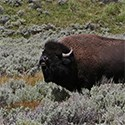 A bull bison bellowing