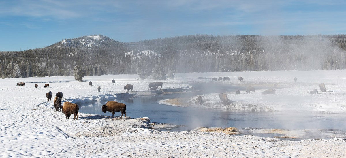 Photo of bison along the Gibbon River.