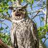 Minute Out In It: Backyard Owls
