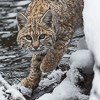 Minute Out In It: Bobcat & Mallard