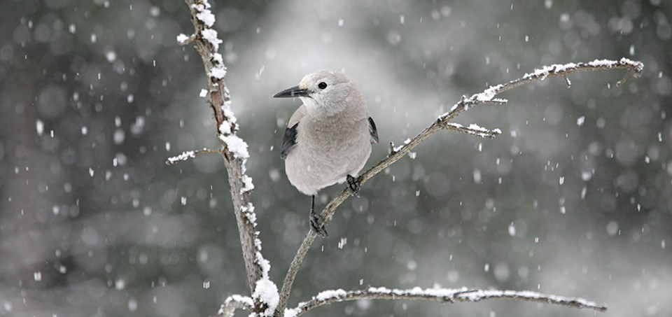 A gray and white bird on a tree branch with snow falling.