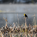 A Yellowheaded blackbird perched in a marsh