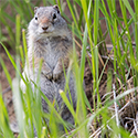 A ground squirrel stands on hind legs.