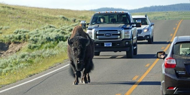 A bison followed by two vehicles walk down the right lane of a road