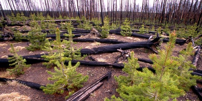 Young pine trees grow among burnt and downed logs