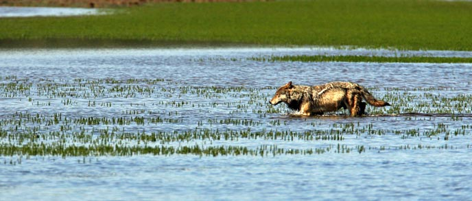 A wolf walks through nearly chest-deep water