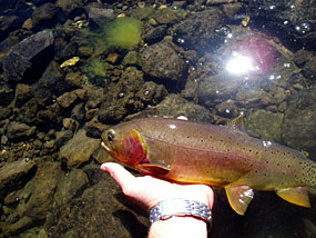 Yellowstone cutthroat trout being released back to the stream by an angler.