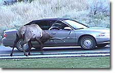 Bull elk ramming a car
