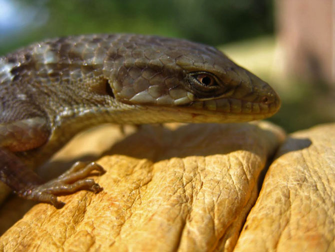 Photo of an alligator lizard