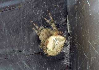 Angulate Orbweaver during the day