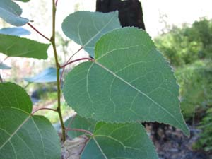 Quaking Aspen Leaf