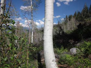 Quaking Aspen Trunk