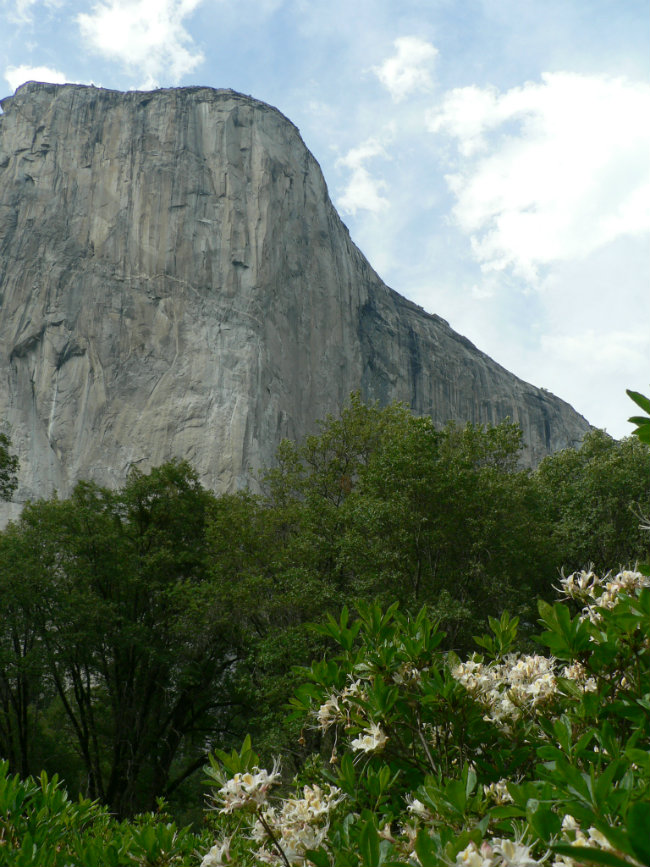 Azalea in El Cap Meadow