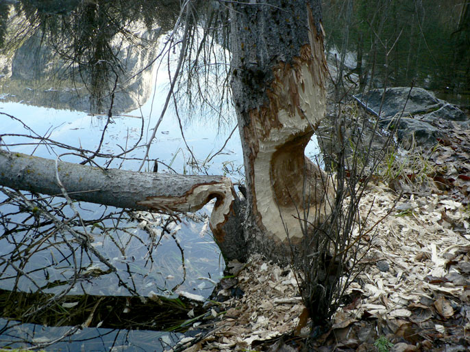 Tree trunk gnawed on by beaver