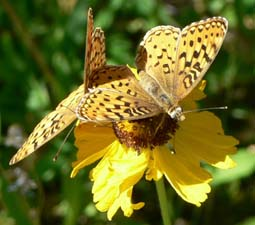 Fritillaries on Asteracae
