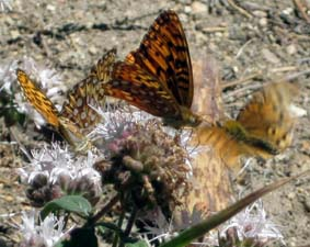 Fritillaries On Pennyroyal