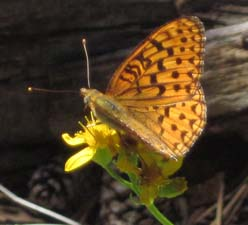 Fritillary on Senecio